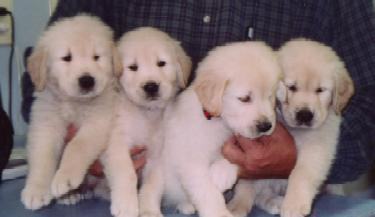 These peoples In Puppies Sale Cheap Golden Illinois Retriever For latest Sony